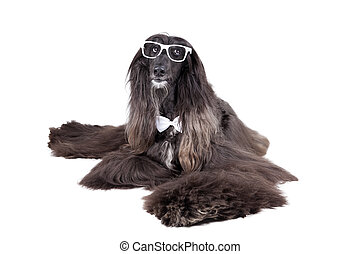 Afghan Hound - Avganskaya greyhound on white background with...
