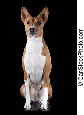 Basenji-dog on the black background