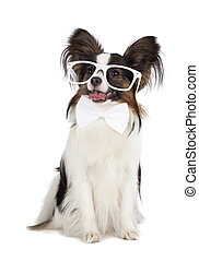 Papillon with glasses and bow tie