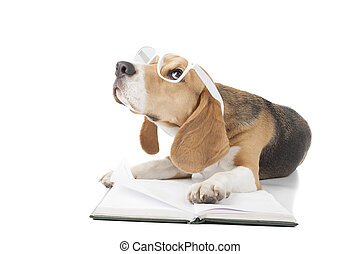 young beagle - Beagle is reading a book