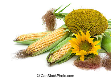 corn and sunflowers on a white background