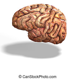 human brain - 3d render of a human brain with clipping path