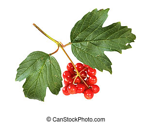 Arrowwood - The berry of arrowwood on white background