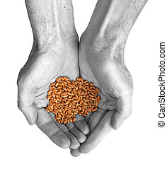 Hands and wheat - The hands and wheat isolated on a white...