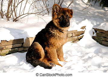 German Shepherd puppy on the snow - Cute fluffy German...