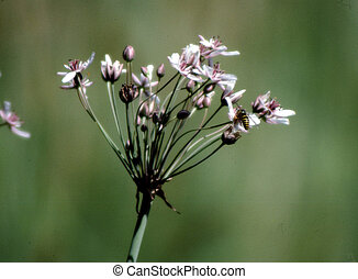 Autumn Wild Onion H-3034 - Allium stellatum are usually...