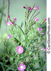 Hairy Willow Herb G-1575 - Epilobium hirsutum is a flowering...