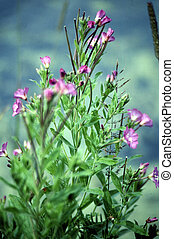 Hairy Willow Herb G-1574 - Epilobium hirsutum is a flowering...
