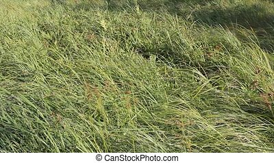 marsh grass swaying in the wind