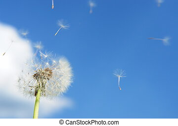 blowball dandelion clock at springtime