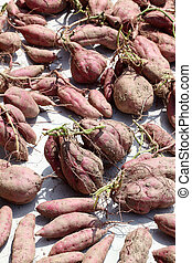 sweet potato harvesting - sweet potato plant harvesting with...