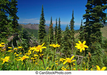 Mountain Meadow - yellow daises growing high in the...