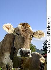 Hornless, krowa