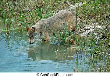 Wolf reflections - Rocky Mountain Grey Wolf (canis lupus)...