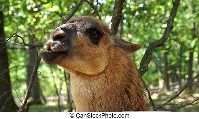 Alpaca - Funny Alpaca eats