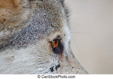 Rocky mountain Grey Wolf - Rocky Mountain Grey Wolf, Canis...