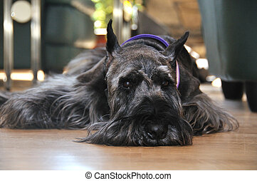 content dog - schnauzer content resting on the floor