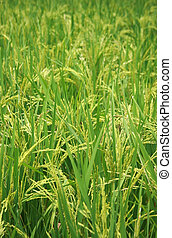 the rice plant for texture