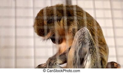 Monkey scratching - Cute Monkey scratching and watching the...