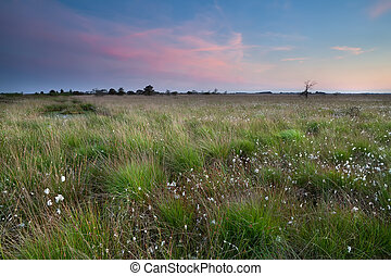 sunset over swamp with cotton-grass - pink calm sunset over...