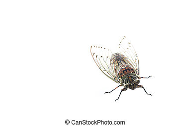 cicada insect isolated on white ba
