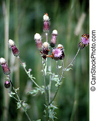 Spotted Knapweed G-1736 - Spotted knapweed(Centaurea...