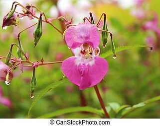 Himalayan balsam - Close-up image of Hiamalayan balsam...