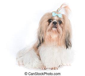 The chi-tzu dog with white background - Chi-Tzu dog with...