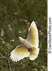sulphur-crested cockatoo - Cacatua galerita sulphur-crested...