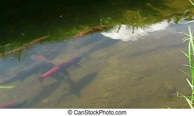 salmon are spawning - Fish a salmon before spawning