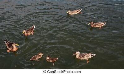 feeding ducks in pond