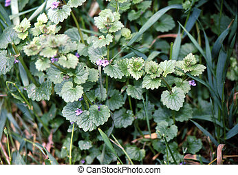 Ground Ivy (Glechoma hederacea) H-3435 - Ground-ivy occurs...