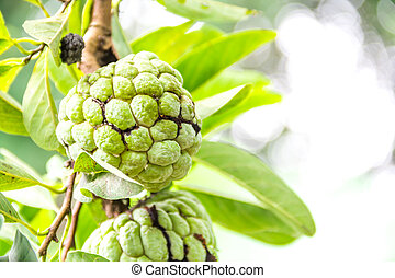 Custard apple fruit,Annona squamosa - agriculture, annona,...