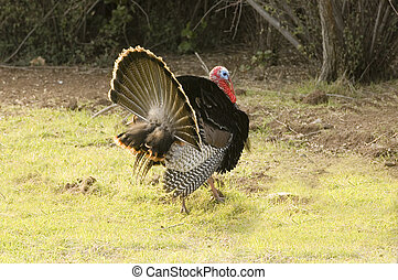 Turkey tom strutting