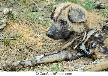 Wild dog lycaon