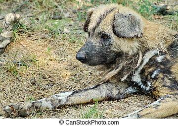 Wild dog lycaon