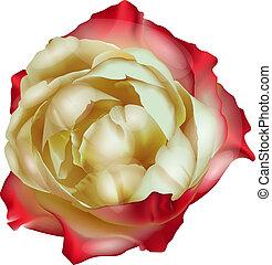 Tea rose isolated