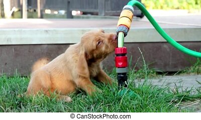Cute Puppy drinking water