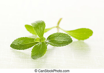 Stevia sugar leaf. - Stevia sugar leaf isolated on green...