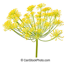 Wild fennel flowers isolated on white