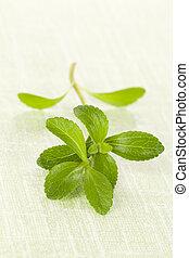 Stevia swwetleaf - Fresh stevia sweet leaf isolated on green...