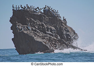 frigate birds on barren islet in the sea. - Frigate birds...