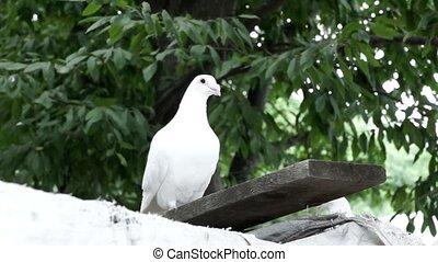 Beautiful White dove