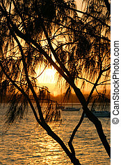 Casuarina Against The Sun 2 - Tropical casuarina tree...
