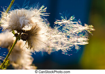 dandelion on the sun - nature serias: some dandelion seeds...