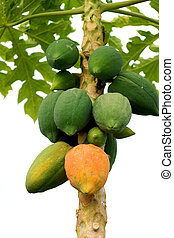 Papaya ripening on the tree