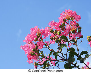 flower of crape myrtle - This is a photograph of a flower of...