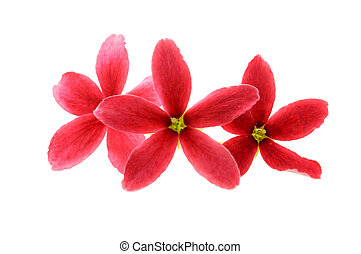 Three Red flower of Rangoon creeper on white background
