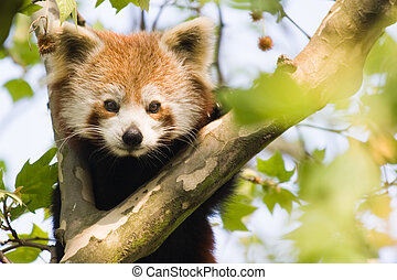Curious red panda - Red panda climbing in a tree and looking...