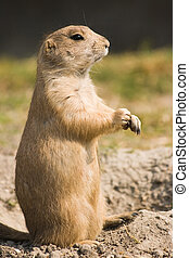 Prairie dog standing - in side angle view